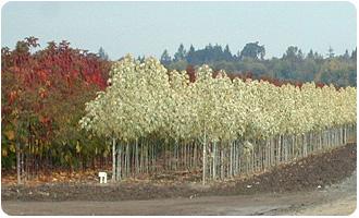 Nursery Trees Oregon